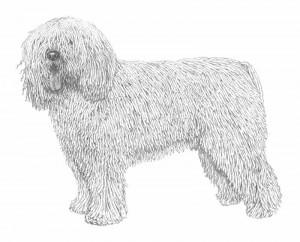 perro-de-agua-espanol---336_vv_800px